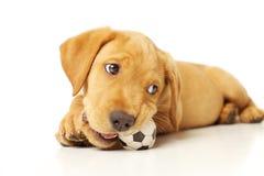 Het gele Puppy van Labrador Stock Afbeelding