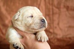 Het gele puppy van Labrador in menselijke handen Stock Afbeeldingen
