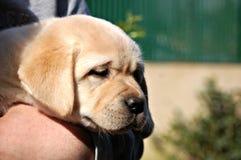 Het gele puppy van Labrador in menselijke handen Royalty-vrije Stock Foto's