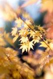 Het gele schot van esdoornbladeren voor selectieve nadruk Stock Afbeeldingen
