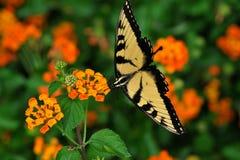 Het gele Swallowtail-Vlinder voeden op Lantana Royalty-vrije Stock Afbeeldingen