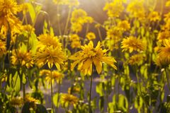 Het gele verse madeliefjegebied, de bloeiende lente bloeit over warme zonsondergang, wildflower weide, vreedzame open plek, mooie Royalty-vrije Stock Foto's