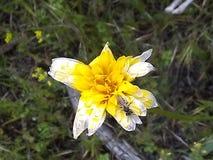 Het gele wit verdwijnt bloem langzaam royalty-vrije stock afbeeldingen