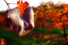 Het Gelezen blad in de wijngaarden Stock Foto's