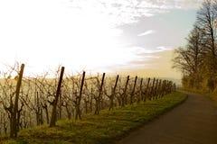 Het gelijk maken in de wijngaard Royalty-vrije Stock Foto's