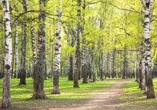 Het gelijk maken van zonnig berkpark met eerste greens in Mei Stock Fotografie
