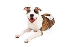 Het gelukkige Amerikaanse Staffordshire Terrier Hond Leggen Royalty-vrije Stock Foto