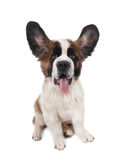 Het gelukkige Dwaze Puppy van de Sint-bernard Stock Foto's