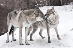 Het gelukkige echtpaar van wolven samen, een vrouwelijke wolf en een mannelijke wolf verenigen samen zich stock foto
