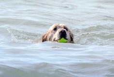 Het gelukkige hond hoofd zwemmen met bal in zijn mond Stock Afbeelding