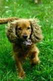 Het gelukkige hond lopen Royalty-vrije Stock Afbeeldingen