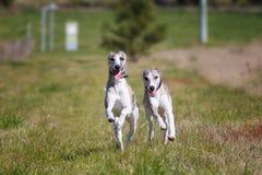 Het gelukkige honden lopen Stock Foto's