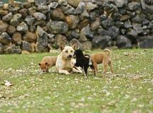 Het gelukkige honden spelen Stock Foto