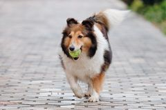 Het gelukkige huisdierenhond spelen met bal op grond, de speelse herdershond die van Shetland bal achter zeer gelukkig terugwinne stock foto's