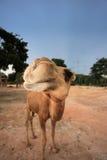 Het gelukkige kameel glimlachen Royalty-vrije Stock Fotografie