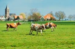 Het gelukkige koeien springen Stock Foto