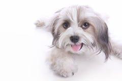 Het gelukkige puppy bepalen stock fotografie