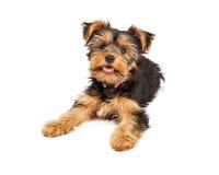 Het gelukkige Puppy van Yorkshire Terrier stock afbeeldingen