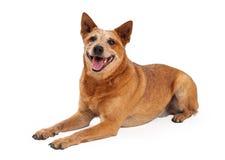 Het gelukkige Rode Heeler-Hond Leggen Royalty-vrije Stock Foto