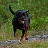 Het gelukkige Rottweiler-lopen stock foto's
