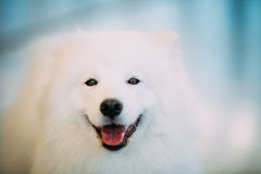Het gelukkige Witte Samoyed-Dichte Omhooggaande Portret van het Hondpuppy Royalty-vrije Stock Foto
