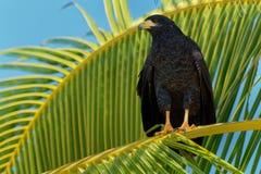 Het gemeenschappelijke Black Hawk - Buteogallus-anthracinus een roofvogel in de familie Accipitridae, omvatte vroeger de Cubaanse royalty-vrije stock afbeeldingen