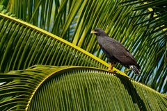 Het gemeenschappelijke Black Hawk - Buteogallus-anthracinus een roofvogel in de familie Accipitridae, omvatte vroeger de Cubaanse stock afbeelding