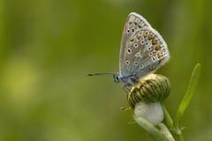 Het gemeenschappelijke Blauwe rusten op een margriet Stock Foto