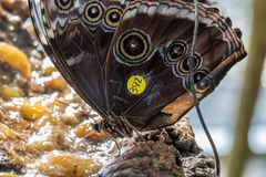 Het Gemeenschappelijke Buckeye-vlinder voeden Royalty-vrije Stock Foto's