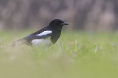 Het gemeenschappelijke Ekster voederen in het gras stock afbeelding
