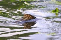 Het gemeenschappelijke Europese kuit schieten van karpercyprinus carpio hevig tijdens het seizoen van het de Lentefokken royalty-vrije stock afbeelding