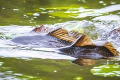 Het gemeenschappelijke Europese kuit schieten van karpercyprinus carpio hevig tijdens het seizoen van het de Lentefokken stock afbeeldingen