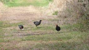 Het gemeenschappelijke Gallinule-vogels lopen stock video