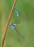 Het gemeenschappelijke het paar van blauw-staartdamselfly koppelen Stock Foto