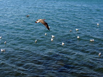 Het gemeenschappelijke meeuw of Larus-canus vliegen Royalty-vrije Stock Foto