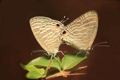 Het gemeenschappelijke het paar van de Pierrotvlinder koppelen stock fotografie