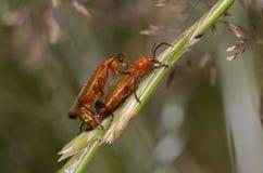 Het gemeenschappelijke rode militairkevers koppelen royalty-vrije stock fotografie