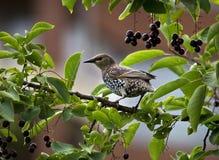 Het gemeenschappelijke starling in een hackberry boom royalty-vrije stock foto