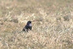 Het gemeenschappelijke starling Sturnus vulgaris op het gebied Stock Afbeeldingen