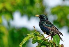 Het gemeenschappelijke starling vulgaris Sturnus De helderste voorboden van het begin van de lente stock foto's
