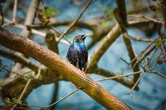 Het gemeenschappelijke starling vulgaris Sturnus royalty-vrije stock foto