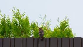 Het gemeenschappelijke starling zit op de omheining met van hem terug naar de camera stock foto