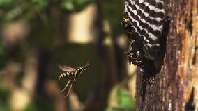 Het gemeenschappelijke Wespvespula vulgaris Vliegen om te nestelen stock footage