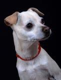 Het gemengde portret van de rassenhond. Stock Fotografie