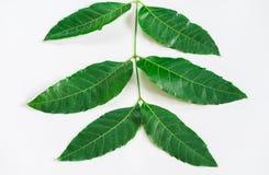 Het Geneeskrachtige neemblad op witte achtergrond indica Azadirachta Royalty-vrije Stock Afbeelding