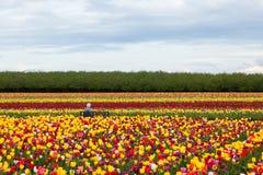 Het genieten van de van Tulpen Stock Afbeeldingen