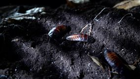 Het gesiskakkerlak van Madagascar op de achtergrond van nacht boshalloween stock footage