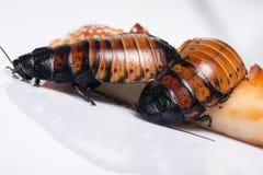 Het gesiskakkerlak van Madagascar op witte achtergrond Royalty-vrije Stock Afbeeldingen