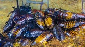 Het gesiskakkerlakken van Madagascar royalty-vrije stock fotografie