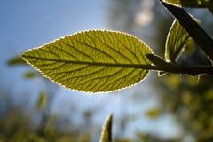 Het gesneden groene jonge blad wordt aangestoken door de zon in het park Stock Afbeelding